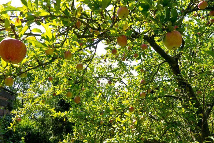 Apples, Southern Germany